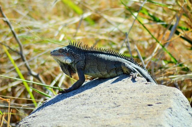 Iguana reptile lizard, animals.