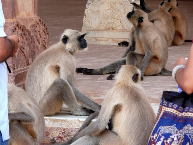 India amber monkey, animals.