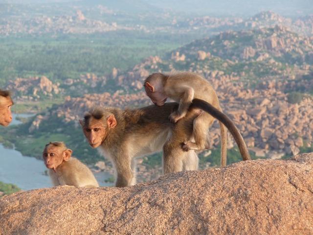 India ape animals, nature landscapes.