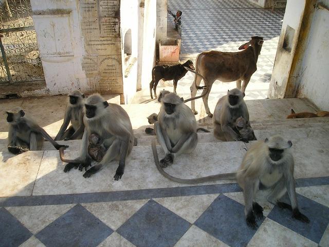 India ape ape horde, animals.