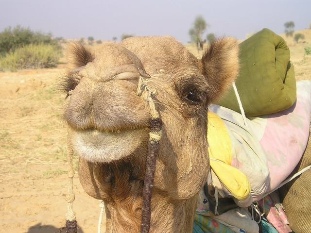 India camel desert, transportation traffic.