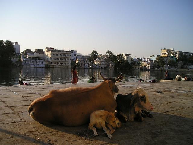 India cow dog, animals.