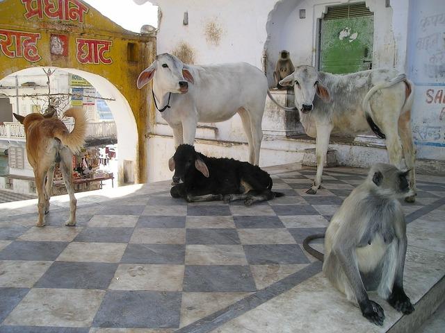India monkey dog, animals.