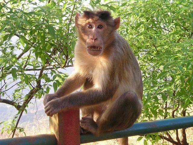 India monkey wild.