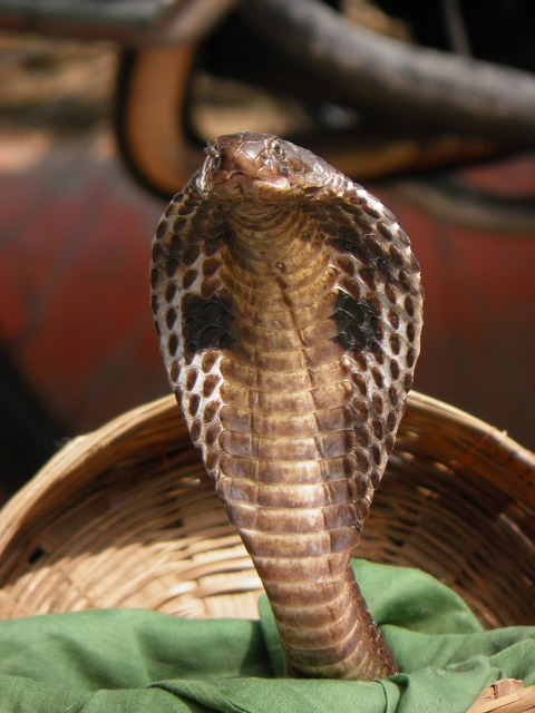 India snake cobra.
