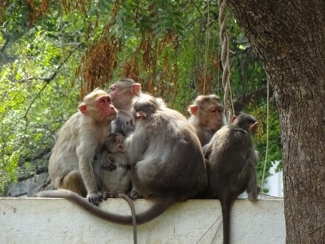 India tiruvanamalai ape.
