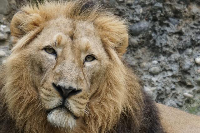 Indian lion lion cat, animals.