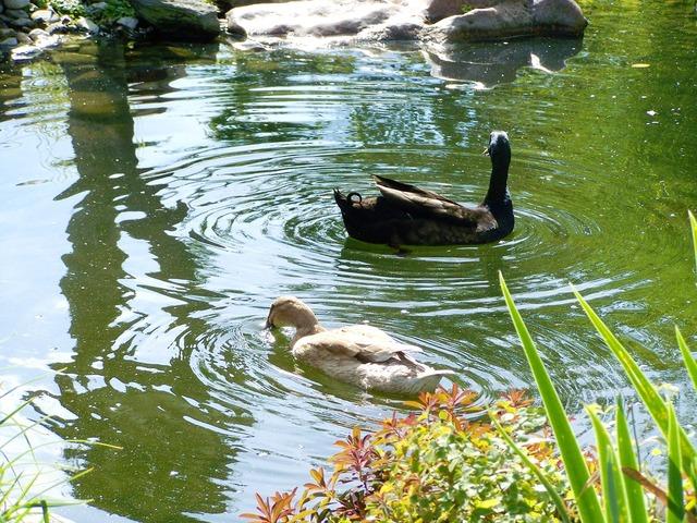 Indian runner ducks black and light brown duck birds.