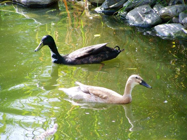Indian runner ducks black and light brown ducks birds.