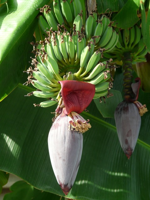 Inflorescences banana trees bananas, food drink.