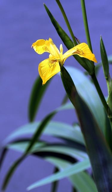 Iris marsh yellow.