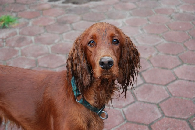 Irish setter dog wet, animals.