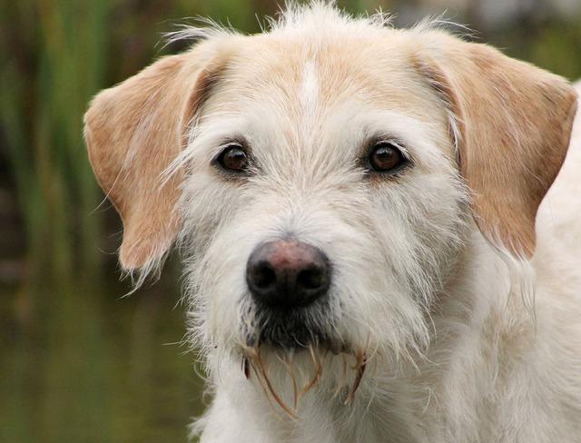 Irish wolfhound hybrid billy dog portrait, animals.