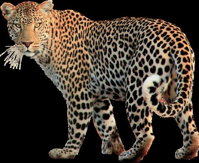 Isolated animal leopard, animals.