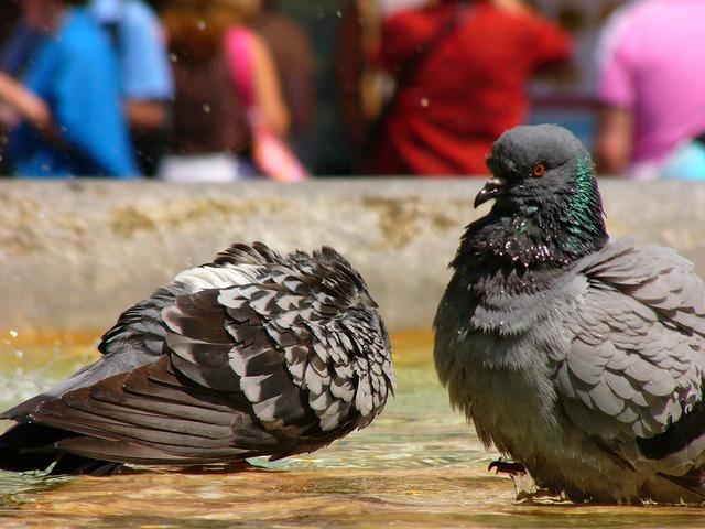 Italy rome pigeons.