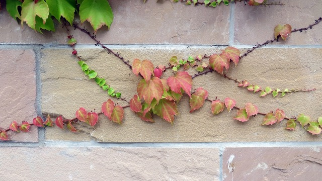 Ivy entwine grow, nature landscapes.