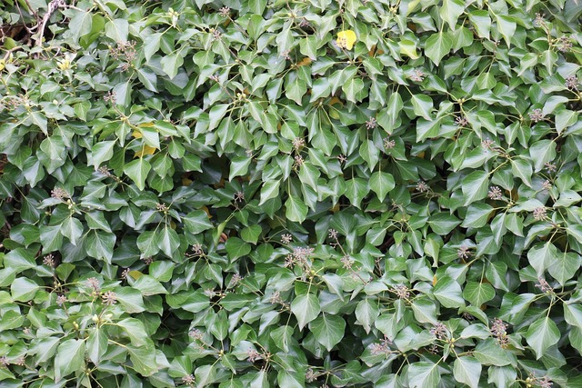 Ivy green climber, nature landscapes.