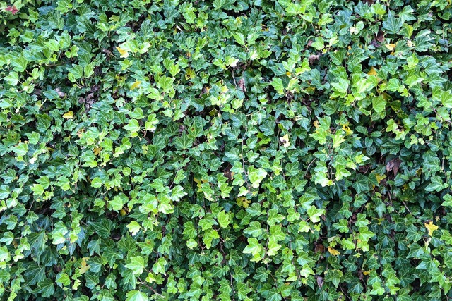 Ivy ivy hedge overgrown, nature landscapes.