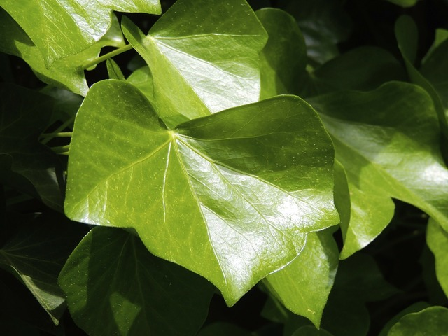 Ivy ivy leaf leaf, nature landscapes.