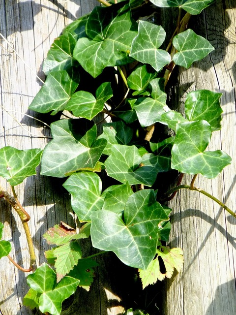 Ivy vedben plant, nature landscapes.