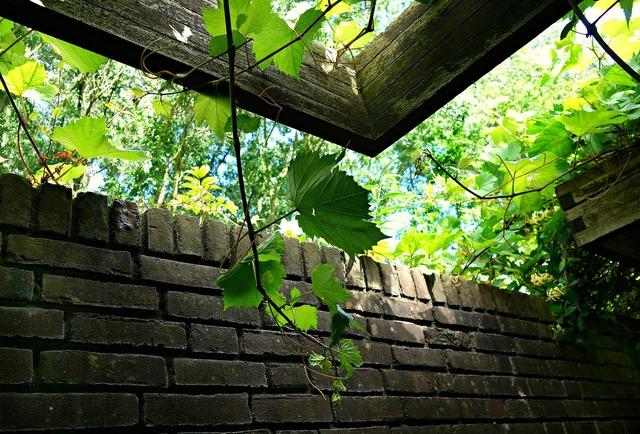 Ivy vine climber.