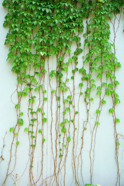 Ivy vine plant, nature landscapes.
