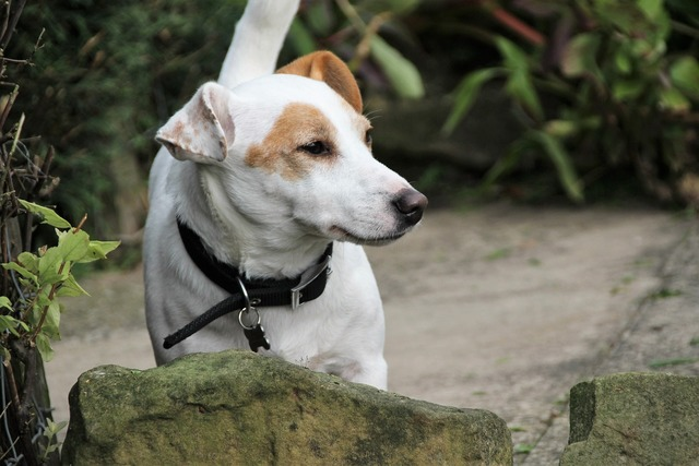 Jack russel terrier dog, animals.