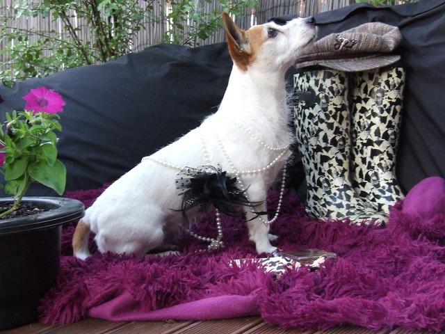 Jack russell dog pet, animals.