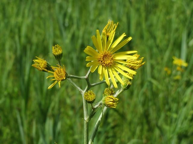 Jacobaea paludosa senecio paludosus wildflower, nature landscapes.