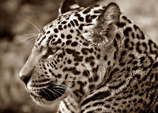 Jaguar halbwüchsig sepia, animals.