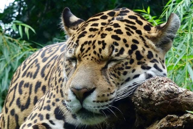 Jaguar wild animal zoo, animals.