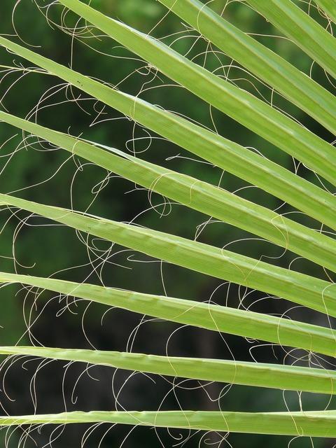 James palm fronds washington palm, nature landscapes.