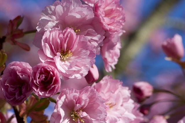 Japanese flowering cherry.