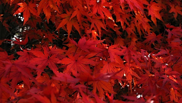 Japanese maple red leaves of japanese maples.