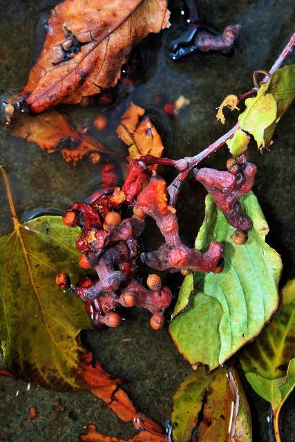 Japanese raisins fruit leaves, food drink.