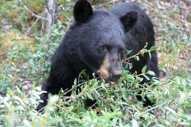 Jasper jasper national park black bear.