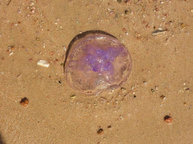 Jellyfish marine life beach, travel vacation.