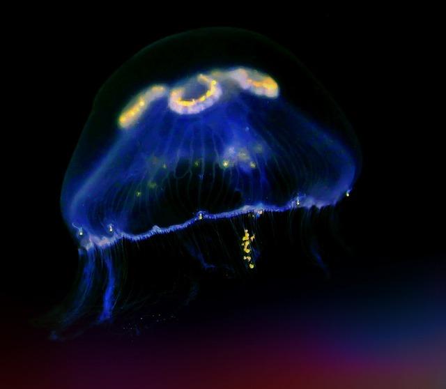 Jellyfish sea animal underwater, animals.
