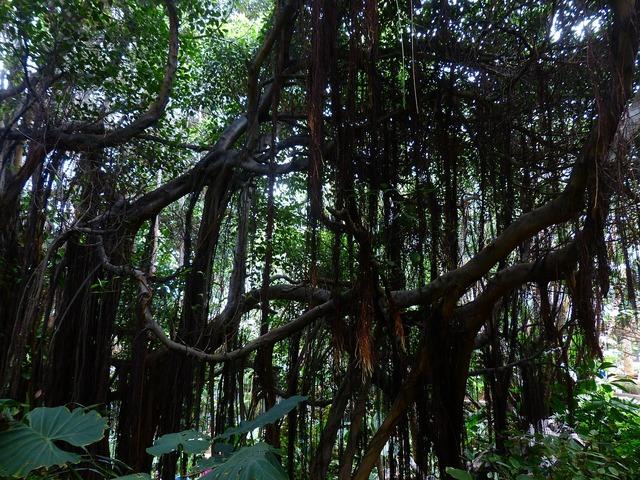 Jungle lianas trees, nature landscapes.