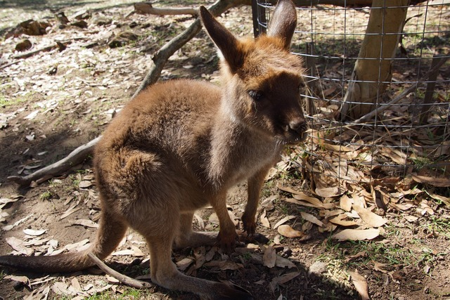 Kangaroo wallaby animal, animals.