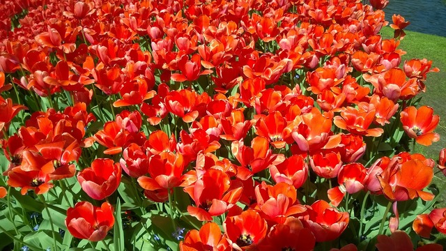 Keukenhof flower netherlands.