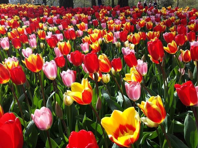 Keukenhof tulip bed tulip.