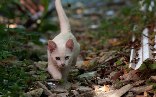 Kitten accommodating odd-eye cat.