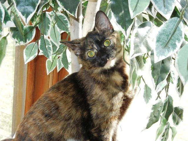 Kitten calico feline, animals.