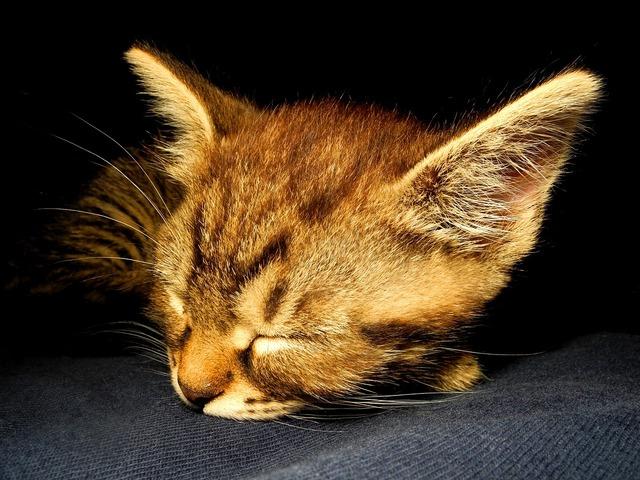 Kitten cat dormant, animals.