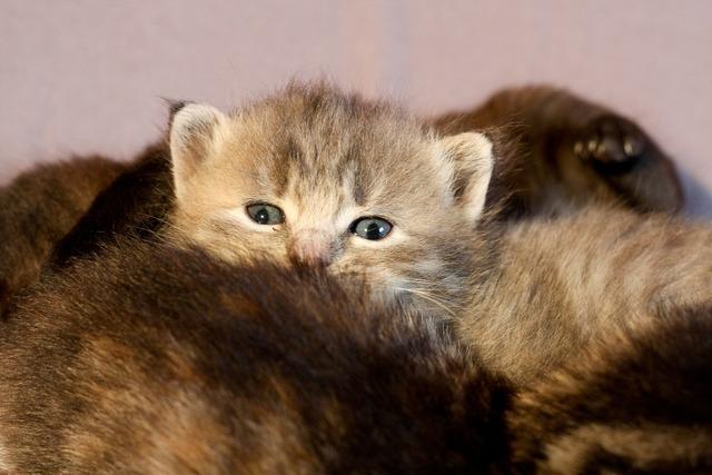Kitten cat hair, animals.