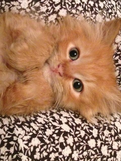 Kitten cat orange, animals.