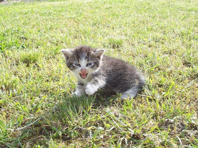 Kitten playing yard, animals.