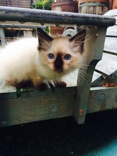 Kitten rag doll cat, animals.