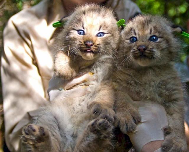 Kittens felines lynx, animals.